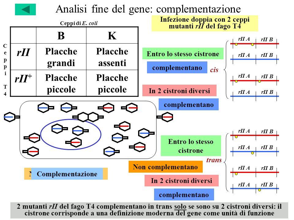 Analisi fine del gene: complementazione