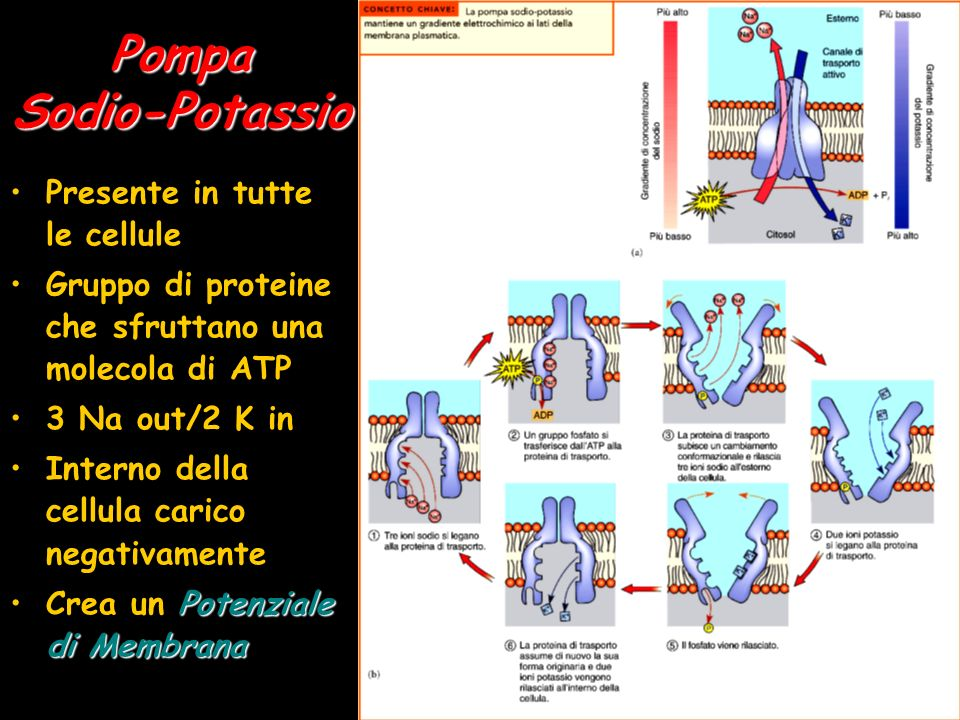 Pompa Sodio-Potassio Presente in tutte le cellule