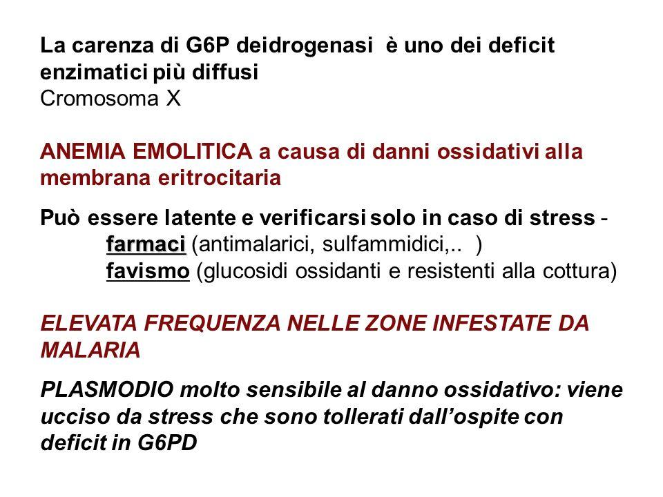 La carenza di G6P deidrogenasi è uno dei deficit enzimatici più diffusi