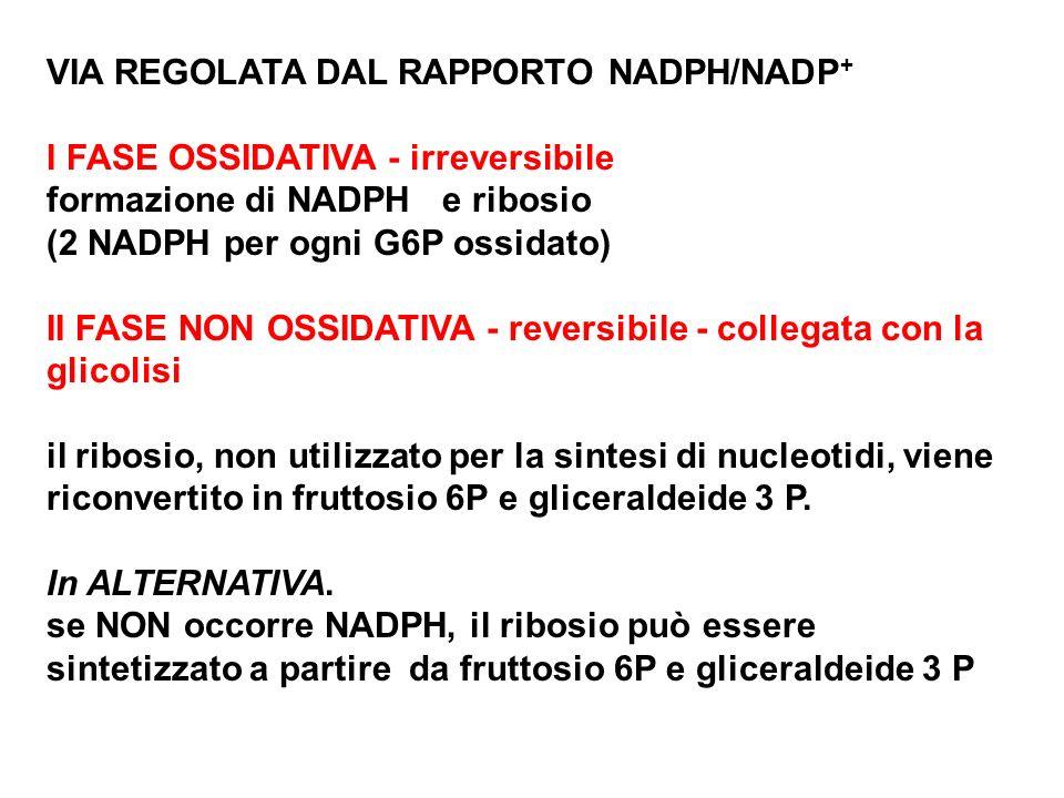 VIA REGOLATA DAL RAPPORTO NADPH/NADP+