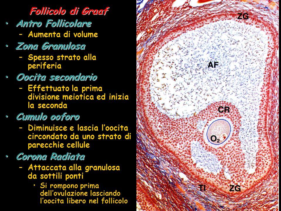 Follicolo di Graaf Antro Follicolare Zona Granulosa Oocita secondario