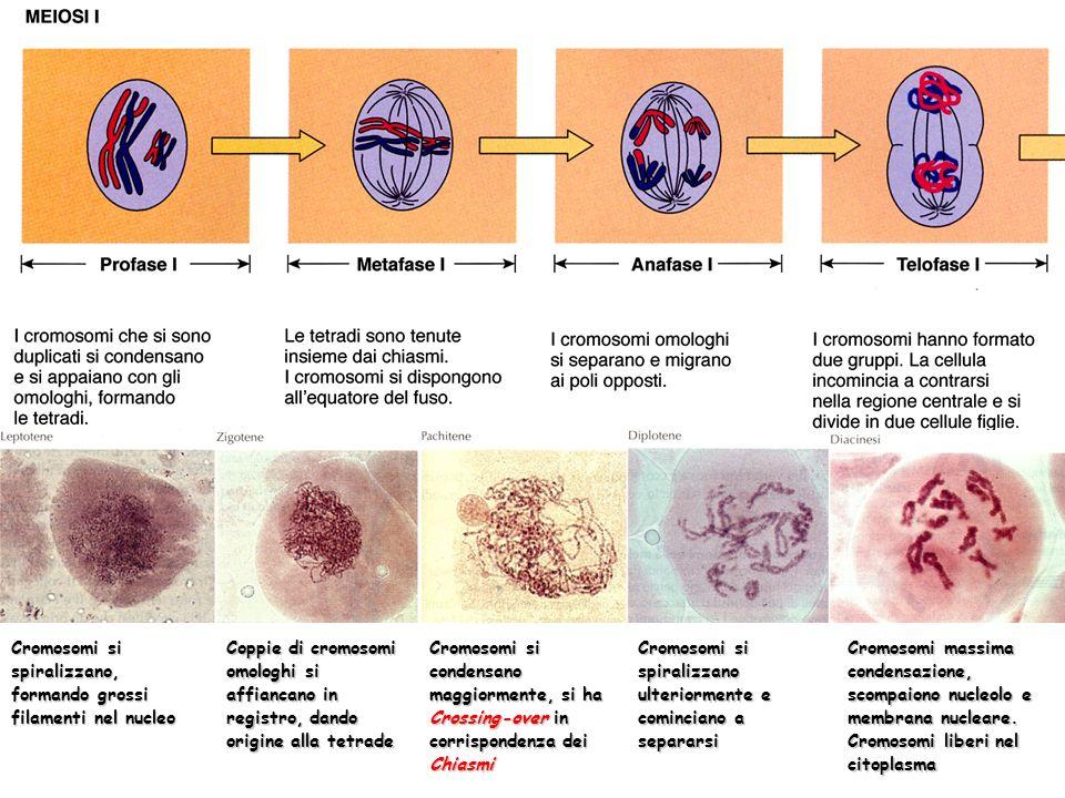 Cromosomi si spiralizzano, formando grossi filamenti nel nucleo