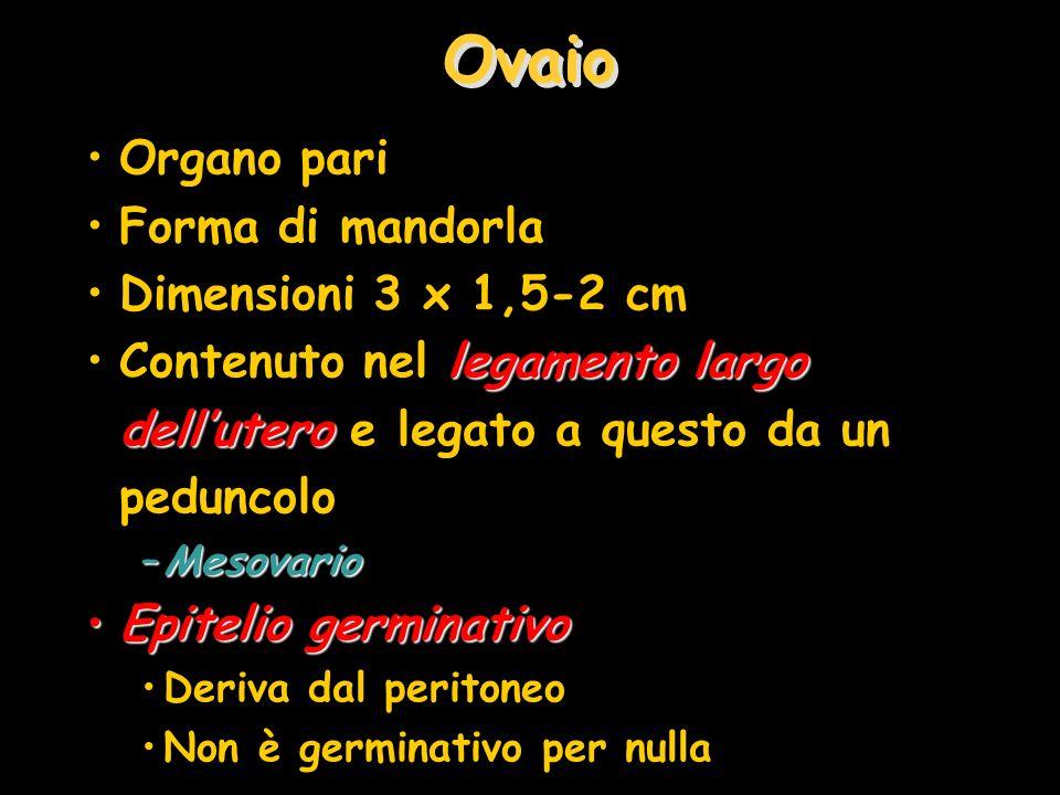 Ovaio Organo pari Forma di mandorla Dimensioni 3 x 1,5-2 cm