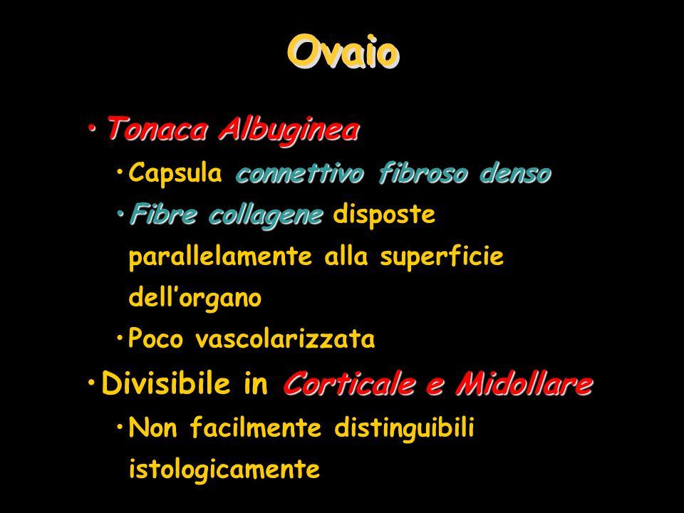 Ovaio Tonaca Albuginea Divisibile in Corticale e Midollare