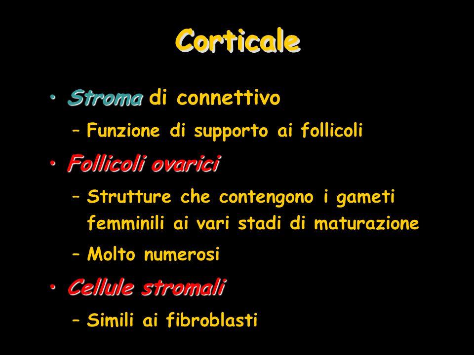 Corticale Stroma di connettivo Follicoli ovarici Cellule stromali