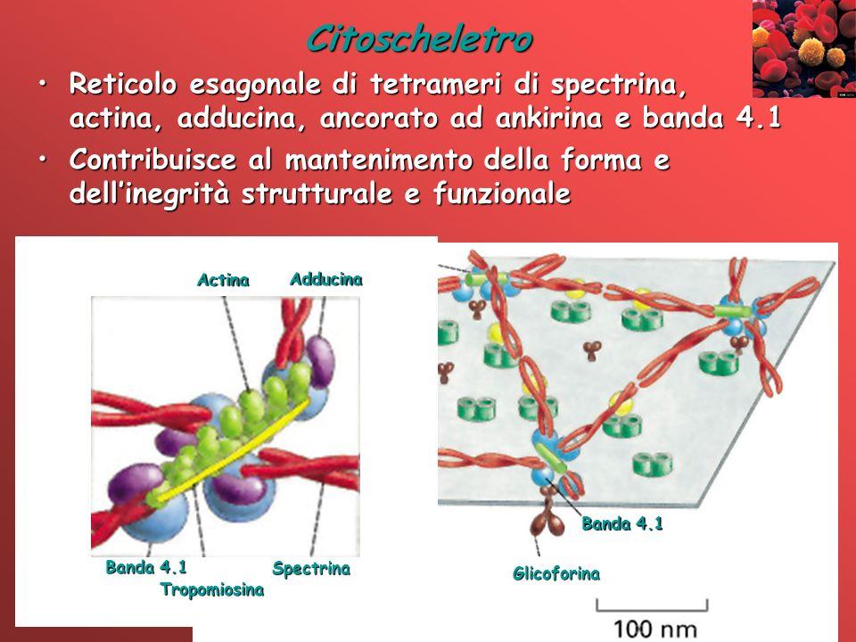 Citoscheletro Reticolo esagonale di tetrameri di spectrina, actina, adducina, ancorato ad ankirina e banda 4.1.