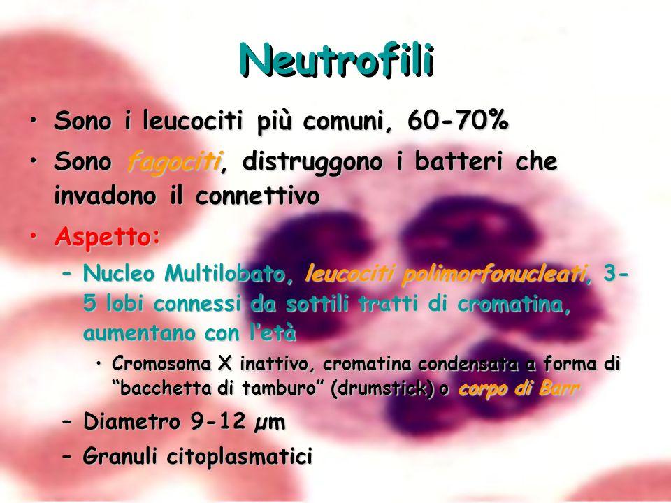 Neutrofili Sono i leucociti più comuni, 60-70%