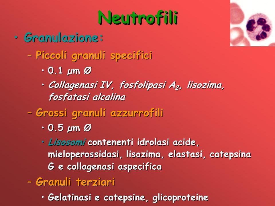 Neutrofili Granulazione: Piccoli granuli specifici