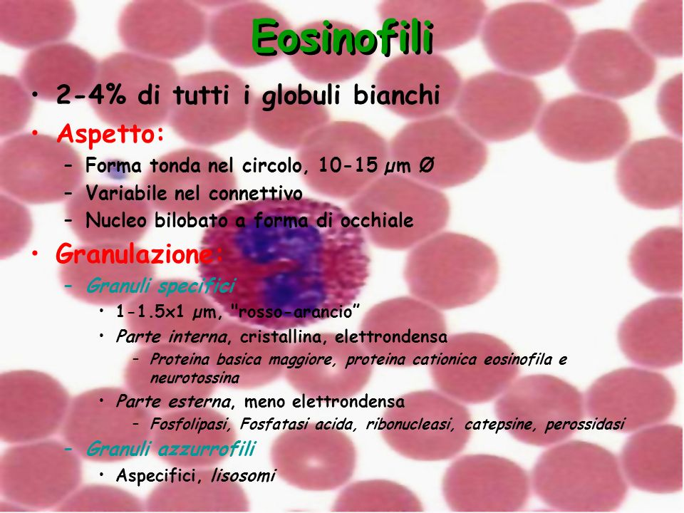 Eosinofili 2-4% di tutti i globuli bianchi Aspetto: Granulazione: