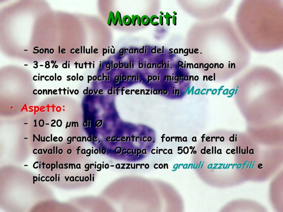 Monociti Aspetto: Sono le cellule più grandi del sangue.