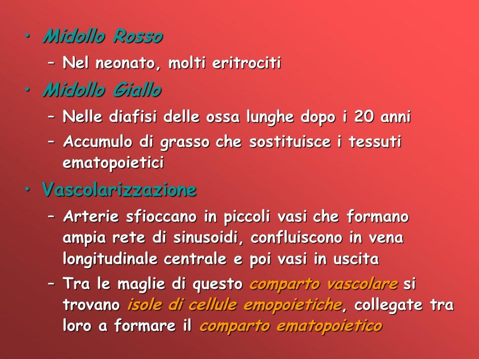 Midollo Rosso Midollo Giallo Vascolarizzazione