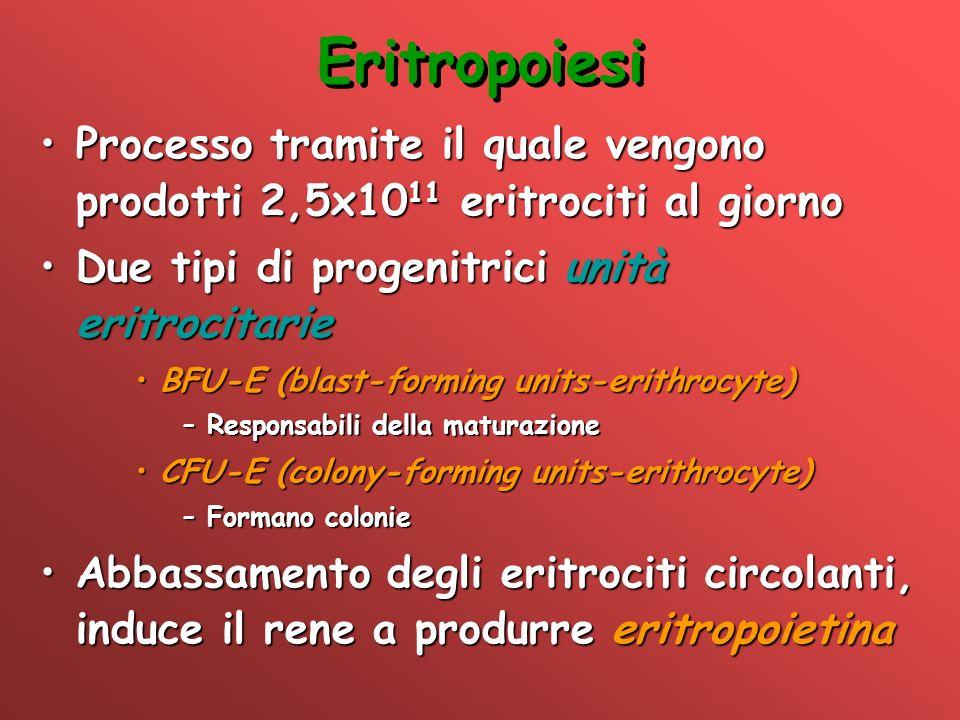 Eritropoiesi Processo tramite il quale vengono prodotti 2,5x1011 eritrociti al giorno. Due tipi di progenitrici unità eritrocitarie.