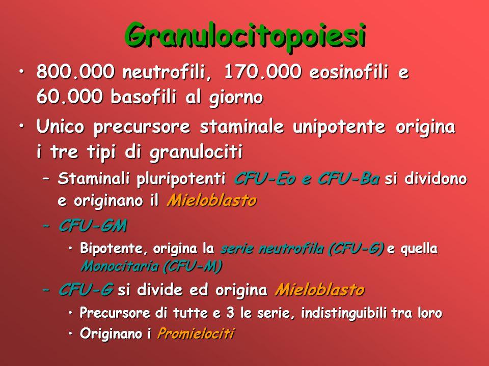 Granulocitopoiesi 800.000 neutrofili, 170.000 eosinofili e 60.000 basofili al giorno.