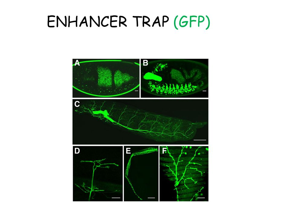 ENHANCER TRAP (GFP)