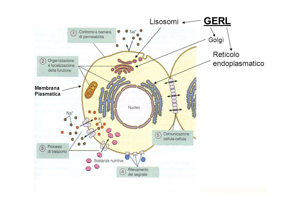 GERL Lisosomi Golgi Reticolo endoplasmatico Membrana Plasmatica