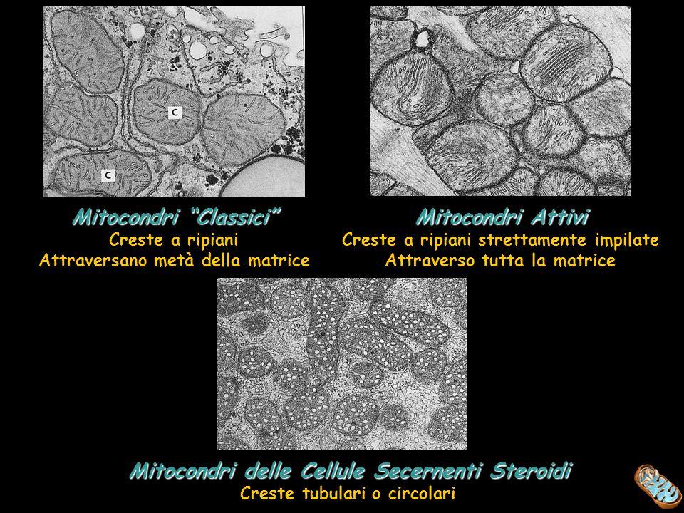 Mitocondri Classici Mitocondri Attivi
