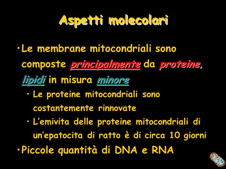 Aspetti molecolari Le membrane mitocondriali sono composte principalmente da proteine, lipidi in misura minore.