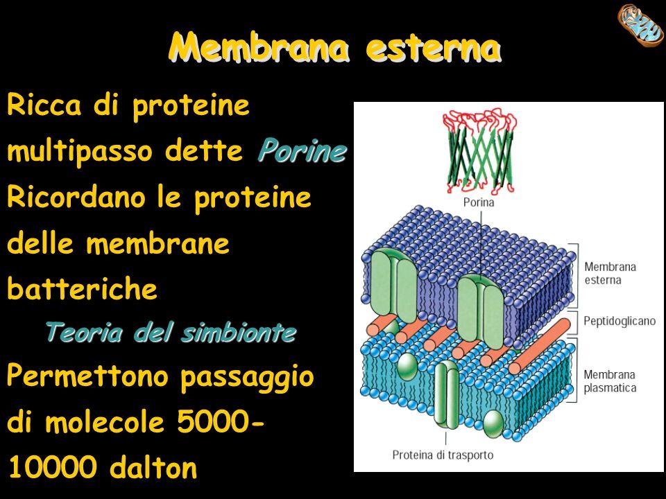 Membrana esterna Ricca di proteine multipasso dette Porine