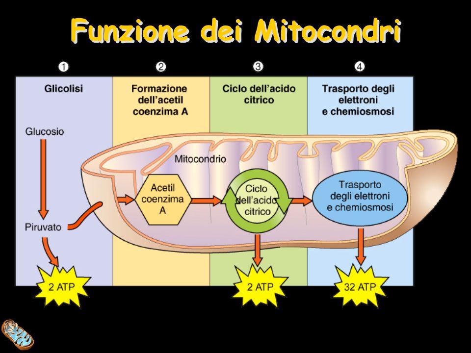 Funzione dei Mitocondri