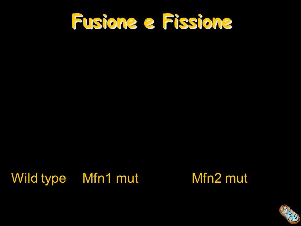Fusione e Fissione Wild type Mfn1 mut Mfn2 mut