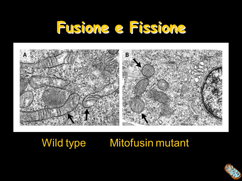 Fusione e Fissione Wild type Mitofusin mutant