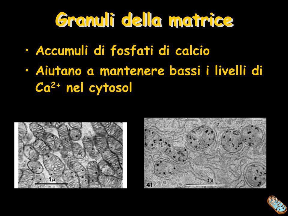 Granuli della matrice Accumuli di fosfati di calcio