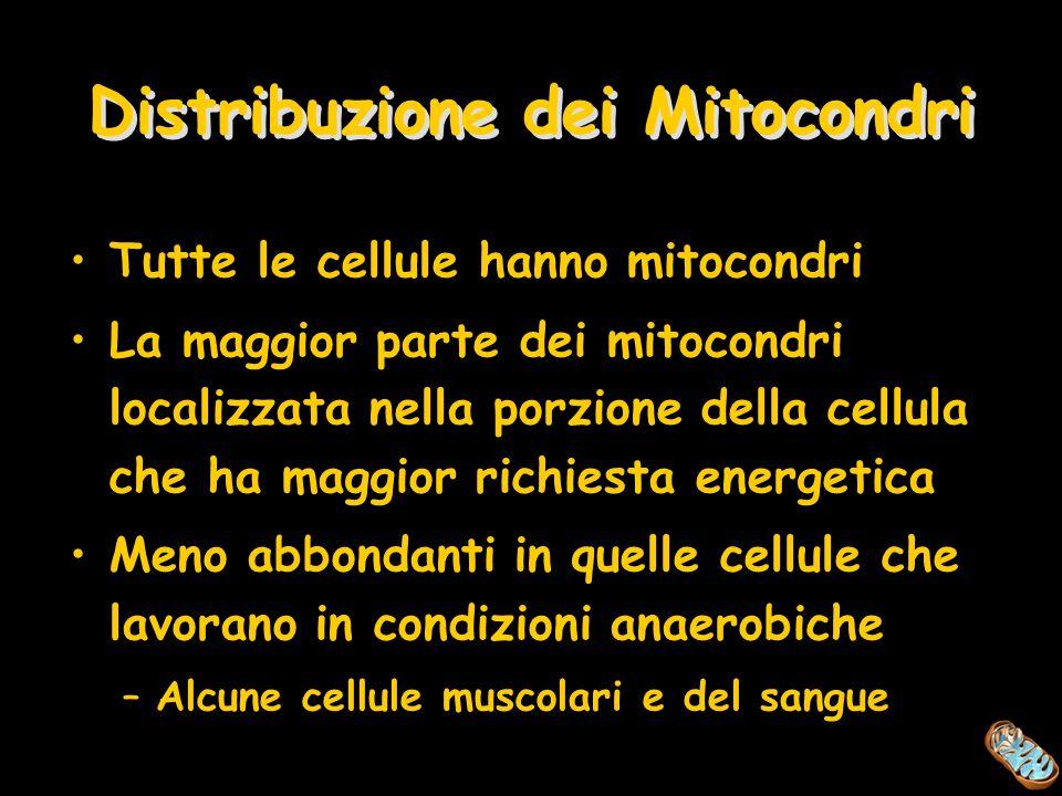 Distribuzione dei Mitocondri