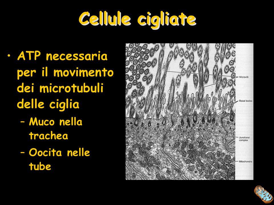 Cellule cigliate ATP necessaria per il movimento dei microtubuli delle ciglia. Muco nella trachea.