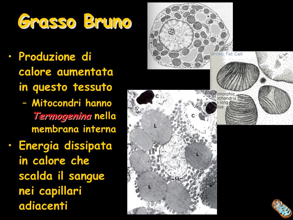 Grasso Bruno Produzione di calore aumentata in questo tessuto