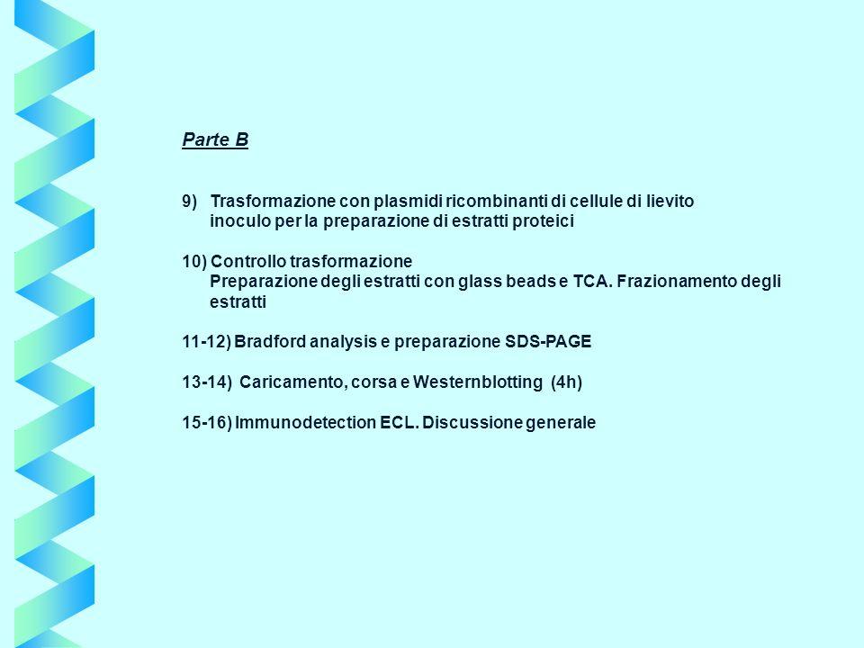 Parte B 9) Trasformazione con plasmidi ricombinanti di cellule di lievito. inoculo per la preparazione di estratti proteici.