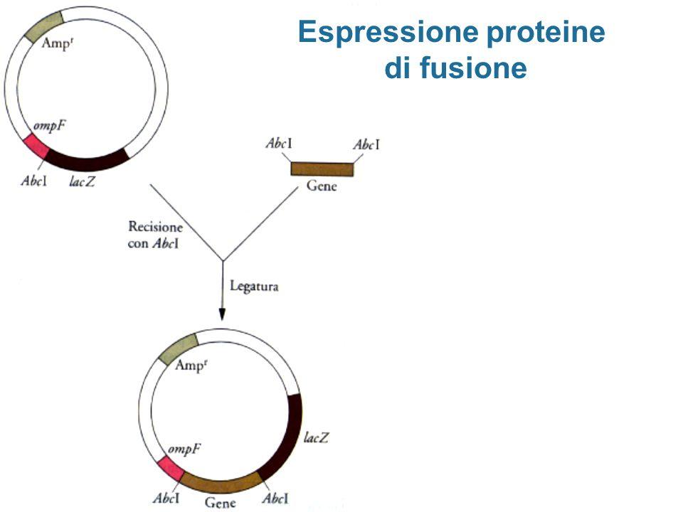 Espressione proteine di fusione