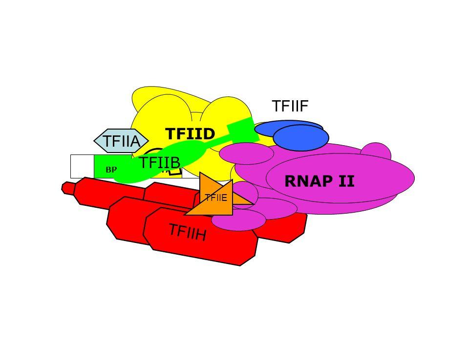 TFIID TFIIF RNAP II ~24bp TATA BRE Inr DPE TFIIA TFIIB TFIIE TFIIH