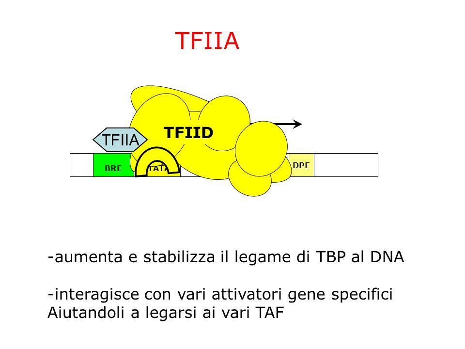 TFIIA TFIID TFIIA -aumenta e stabilizza il legame di TBP al DNA