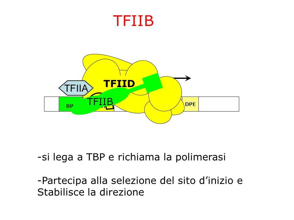 TFIIB TFIID TFIIA TFIIB -si lega a TBP e richiama la polimerasi