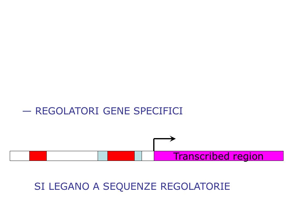 — REGOLATORI GENE SPECIFICI