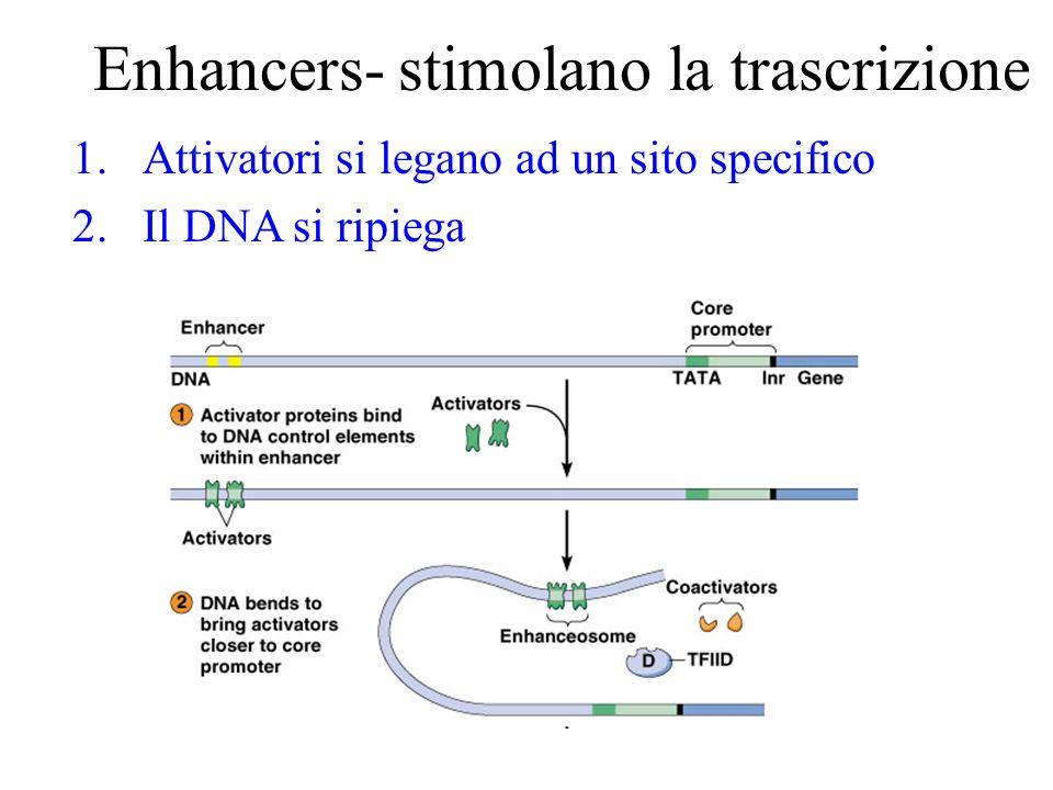 Enhancers- stimolano la trascrizione