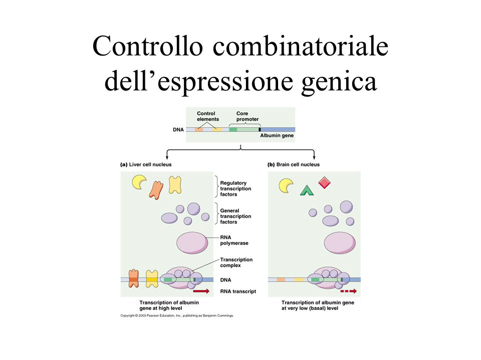 Controllo combinatoriale dell'espressione genica