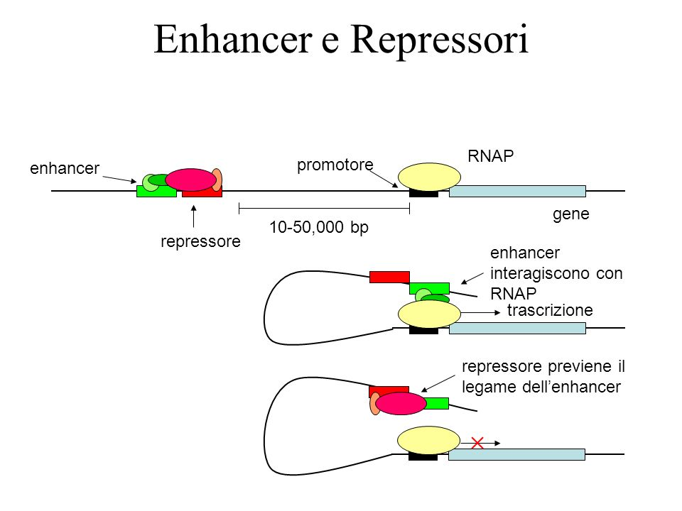 Enhancer e Repressori RNAP promotore enhancer gene 10-50,000 bp
