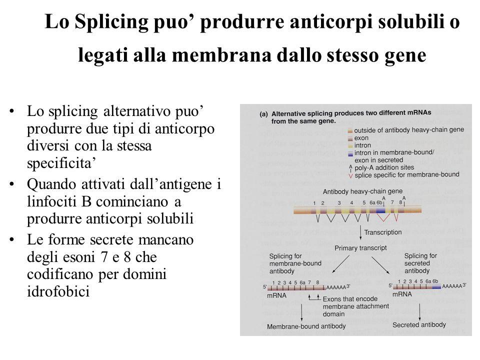 Lo Splicing puo' produrre anticorpi solubili o legati alla membrana dallo stesso gene