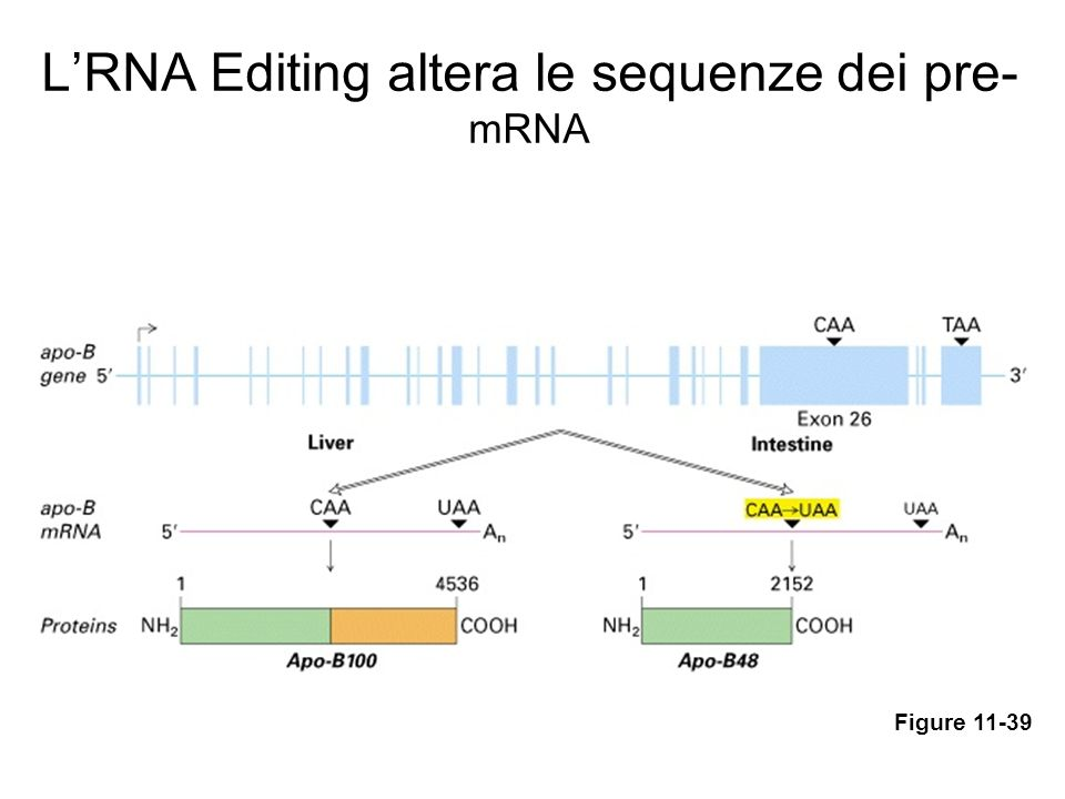 L'RNA Editing altera le sequenze dei pre-mRNA