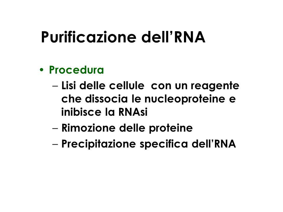 Purificazione dell'RNA