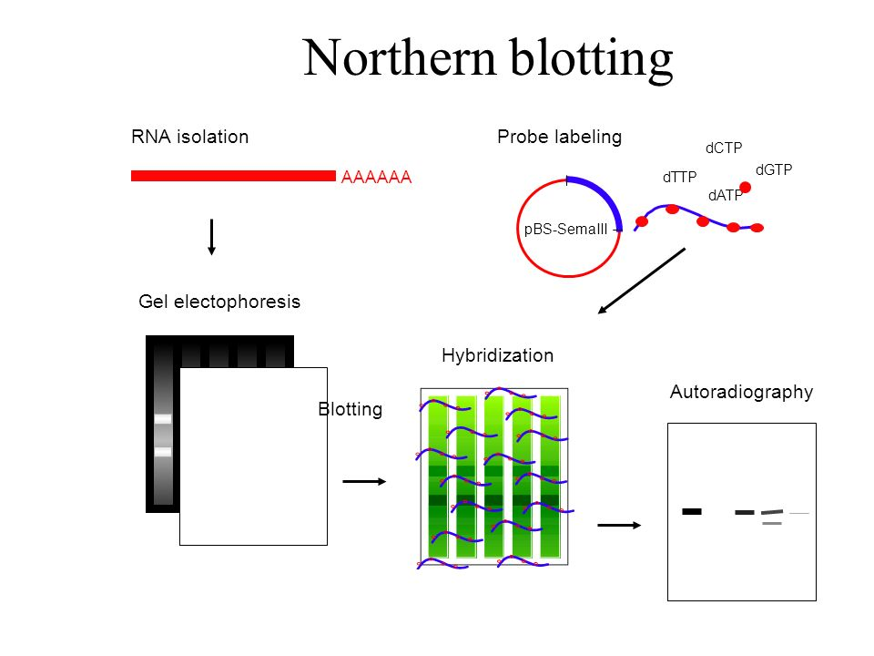 Northern blotting RNA isolation Probe labeling Gel electophoresis