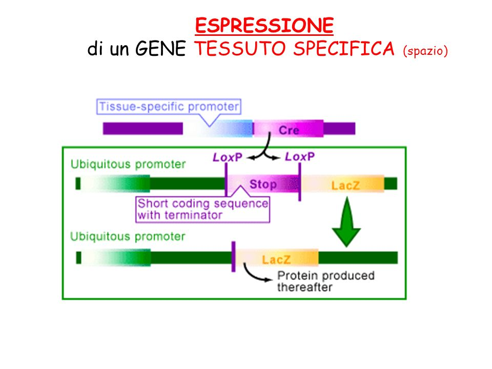 di un GENE TESSUTO SPECIFICA (spazio)