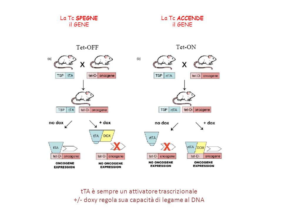 tTA è sempre un attivatore trascrizionale