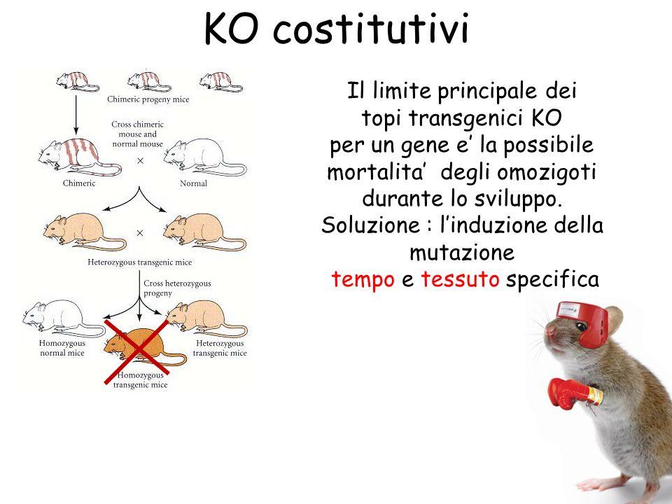 KO costitutivi Il limite principale dei topi transgenici KO