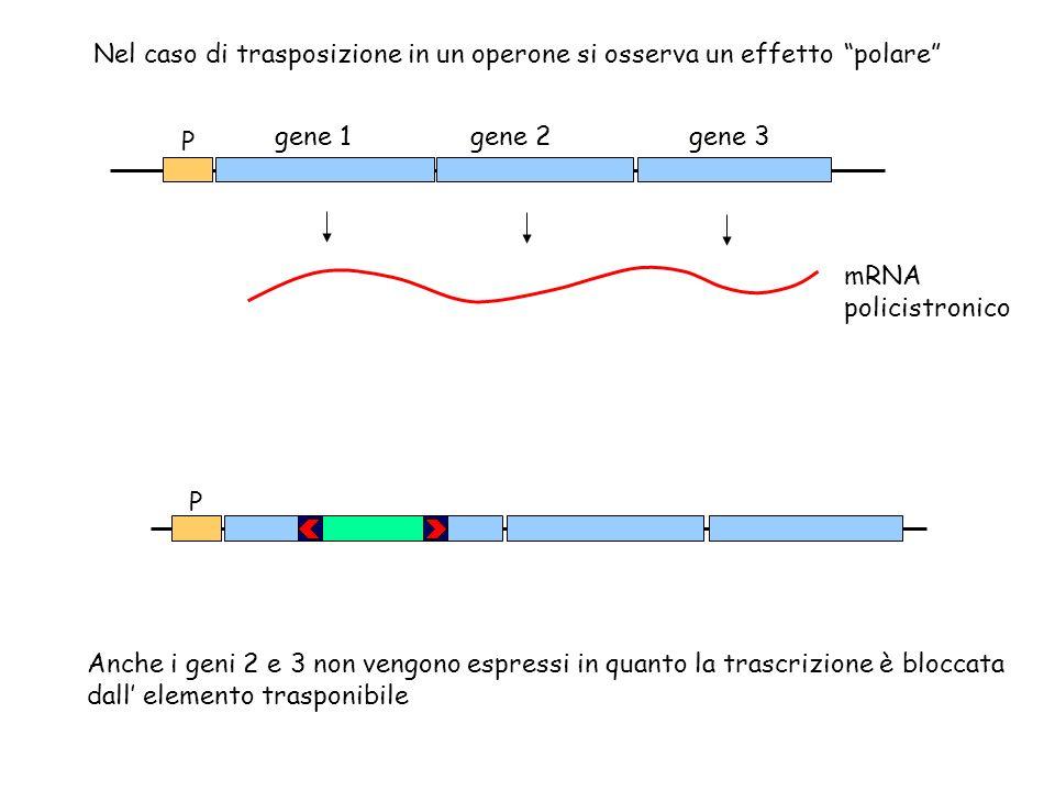 Nel caso di trasposizione in un operone si osserva un effetto polare