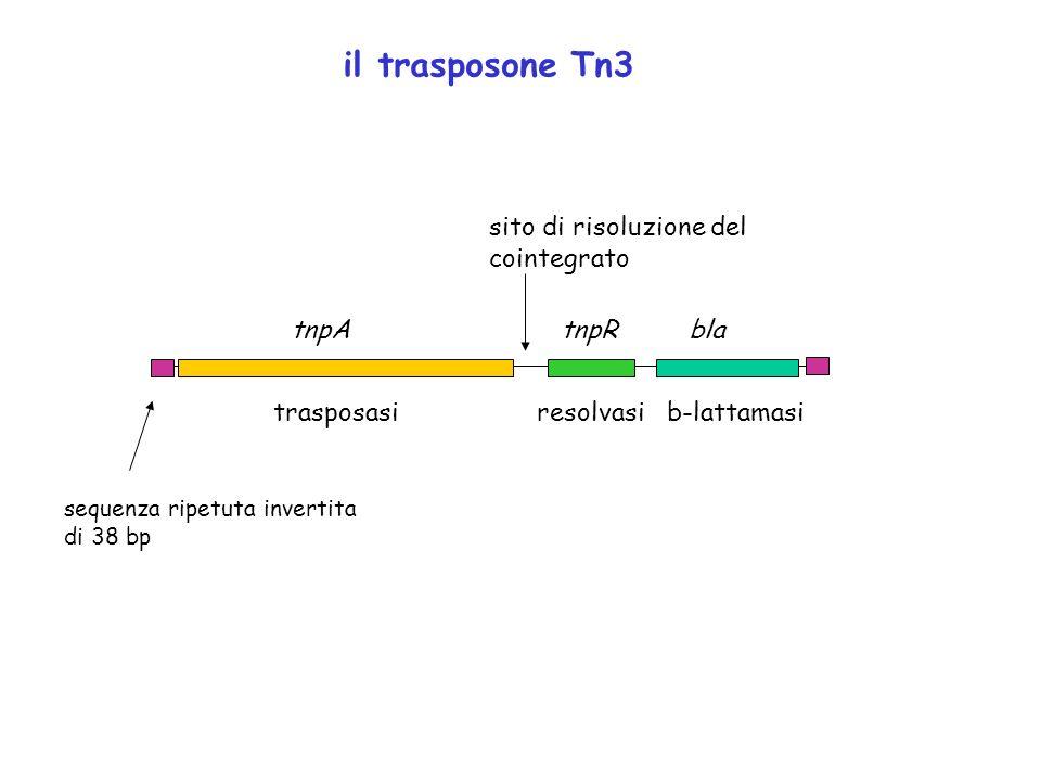 il trasposone Tn3 sito di risoluzione del cointegrato tnpA tnpR bla