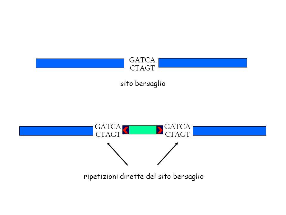 GATCA CTAGT sito bersaglio GATCA CTAGT GATCA CTAGT ripetizioni dirette del sito bersaglio