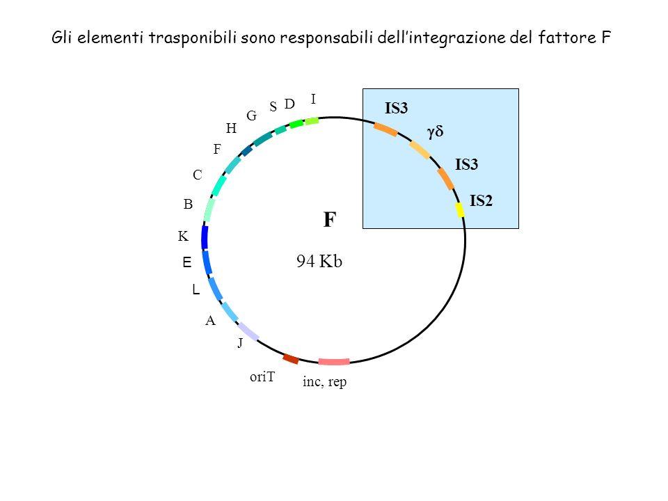 Gli elementi trasponibili sono responsabili dell'integrazione del fattore F