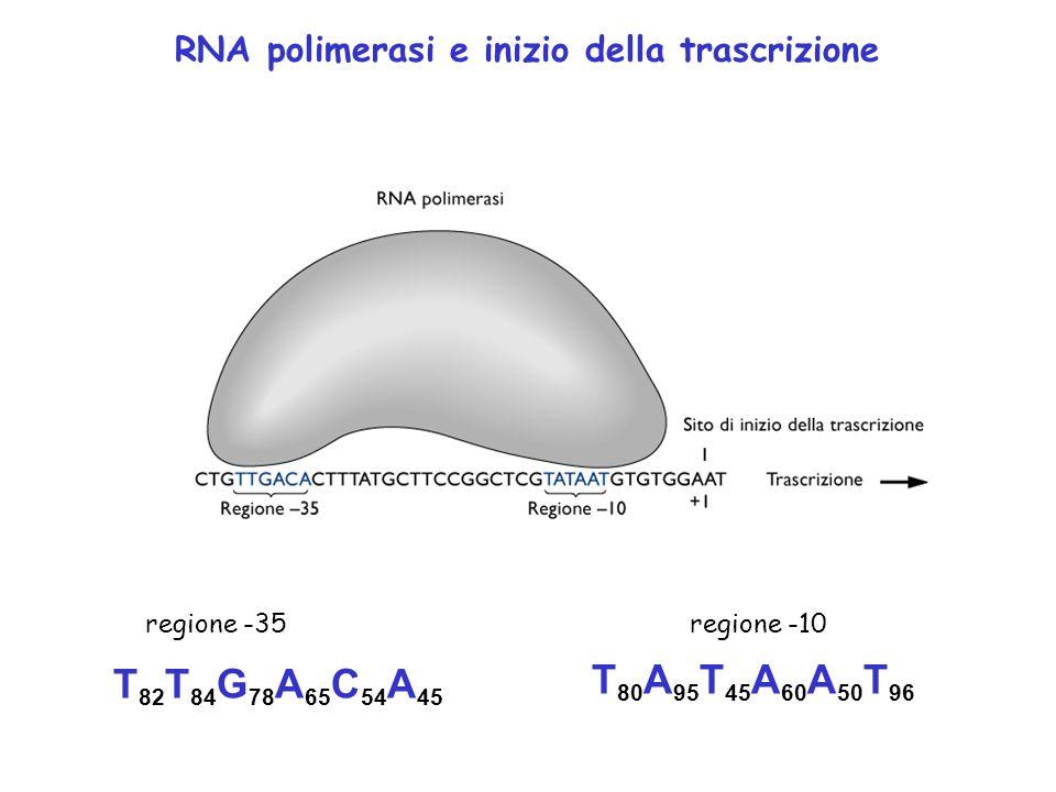 RNA polimerasi e inizio della trascrizione